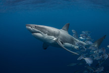 A Large Great White Shark