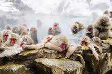 温泉に入る猿の群れ