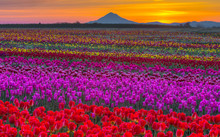 Flower Hood - Tulips And Mt. Hood