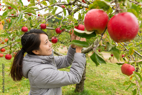 Woman picking apple in farm Slika na platnu