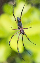 A Very Large Golden Orb Spider In The Seychelles Mahe Against A Vivid Vibrant Green Tropical Jungle Setting. The Golden Orb Has Very Long Legs And Big Web.