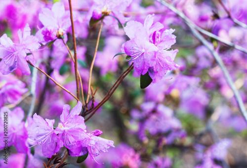 Papiers peints Azalea Azalea in bloom. Candid.
