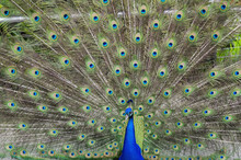 Licentious Peacock