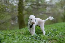 Bedlington Terrier Tiggi