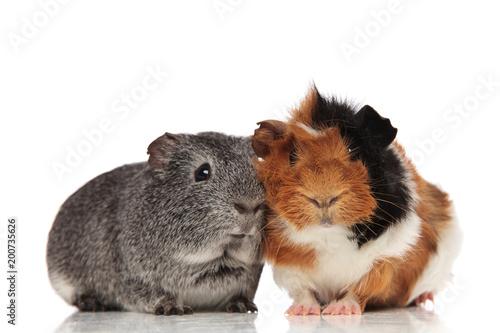 Fotografía lovely guinea pig couple sitting