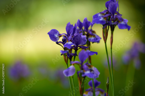 Northern blue flag iris blooming