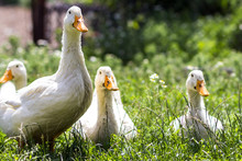 White Ducks On Green Grass In ...