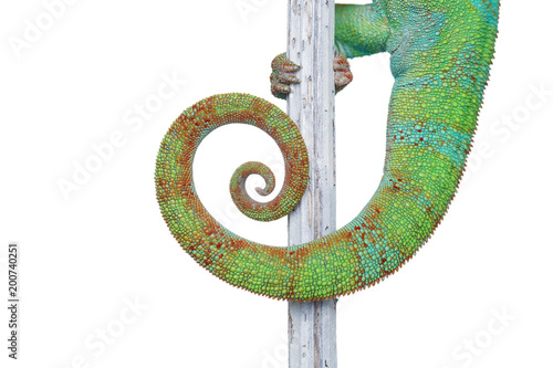 Staande foto Kameleon alive chameleon reptile tail