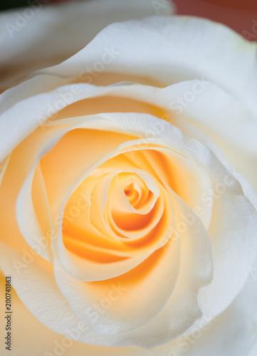 Tuinposter Bloemen macro shot of beautiful apricotcolor rose flower. floral background