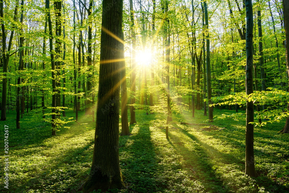 Fototapety, obrazy: Beautiful forest in spring with bright sun shining through the trees