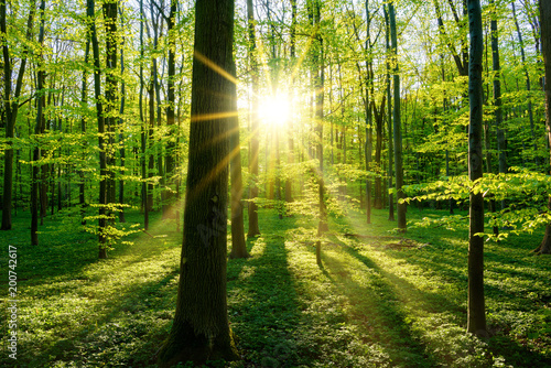 Obraz Beautiful forest in spring with bright sun shining through the trees - fototapety do salonu