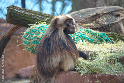 Photo  Portrait of strong alpha male master of African baboon