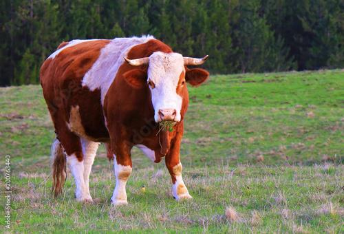 Fotografie, Obraz  Bull on a green summer meadow