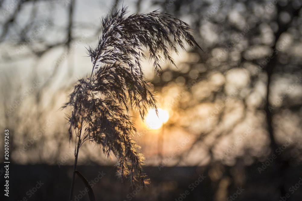 Idyllic image of a reeds ear at sunset