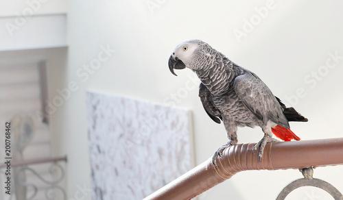 Tuinposter Papegaai The grey parrot Psittacus erithacus