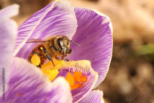 Foto op Aluminium Bee Bee on a crocus flower