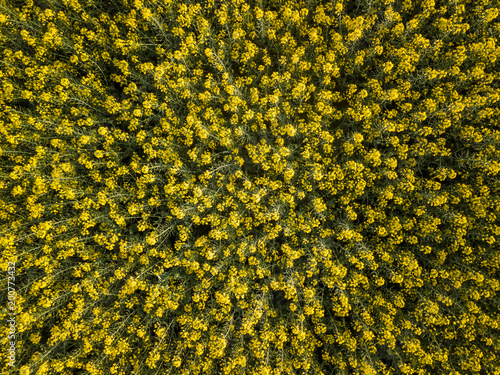 Canvas Prints Honey Yellow rapeseed (canola) flower field in spring, Luoping, China