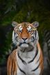 canvas print picture - Close up portrait of Siberian Amur tiger