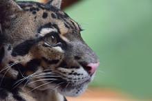 Close Up Profile Portrait Of Clouded Leopard