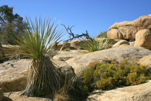 Joshua Tree Landscape Yucca Br...