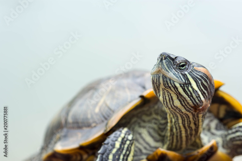 Deurstickers Schildpad Macro shot close up focus shot of a turtle on a pond