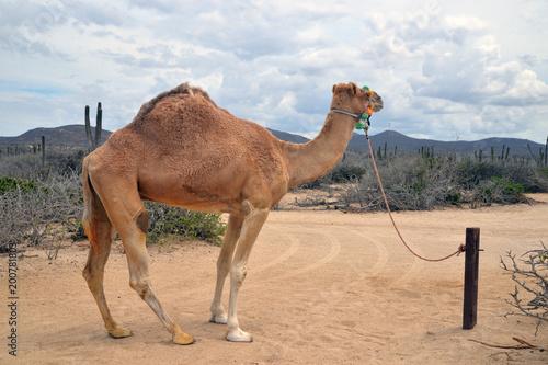Deurstickers Kameel Camel in scenic Mexico. Travels. Recreation