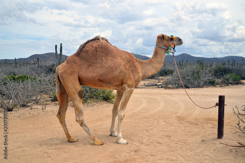 In de dag Kameel Camel in scenic Mexico. Travels. Recreation