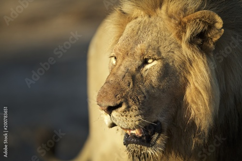 Foto op Plexiglas Leeuw Big Male Lion