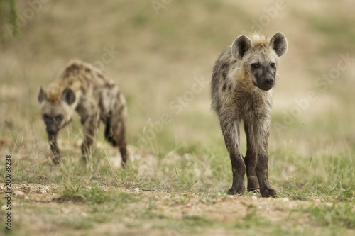 Foto op Canvas Hyena Exploring Hyenas