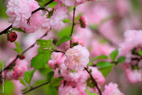 Fototapeta Cherry blossoms obraz na płótnie