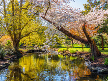 Springtime Blossom In Public B...