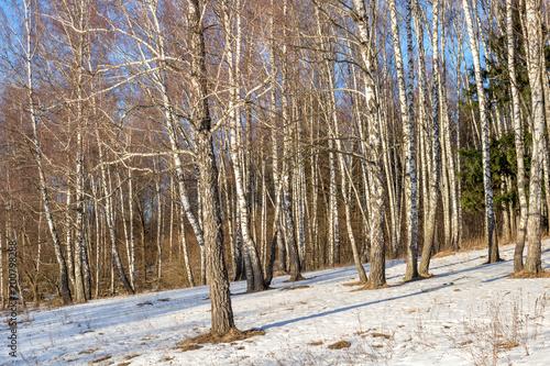 Papiers peints Bosquet de bouleaux Birch grove on the slope on a winter day