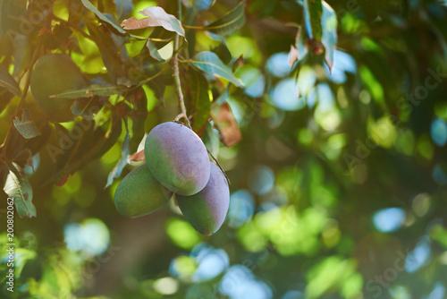 Mango fruit ripe