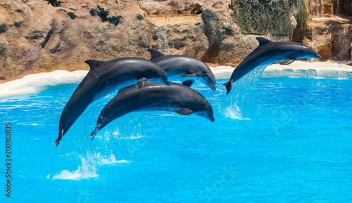 Plakat Piękne delfiny pływające. Skoki delfinów nad błękitną wodą