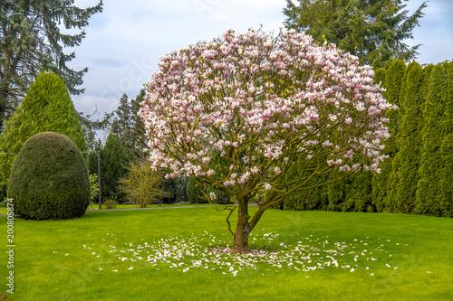 Fotobehang Magnolia Beautiful purple magnolia tree called 'big Dude'