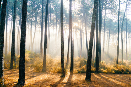 Stickers pour porte Arbre Fabulous european forest. Picturesque sunrise in Portugal. Fairy tale scenic view. Magnificent sun rays in pine trees. Beautiful seasonal nature landscape. Vivid colors. Sun light in wild territory