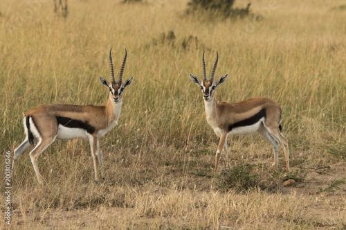 Deurstickers Antilope Pair of Thomsons Gazelles