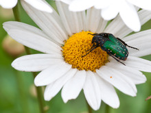 Macro Photo Of Flowers, Daisy And Green Beetle