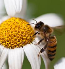 Macro Photo Of Flowers, Daisy And Honey Bee