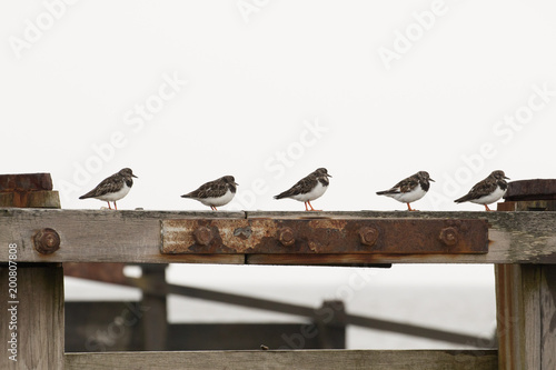 Obraz na plátně A flock of Ruddy Turnstones (Arenaria interpres) standing on the Groynes on the
