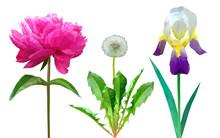 Set Of Flowers Dandelion Peony And Iris