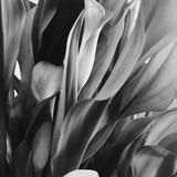 Calla lilies  - 200810825