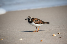 Ruddy Turnstone At The Shore