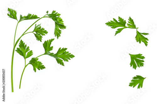 fresh Italian parsley leaves isolated on white background