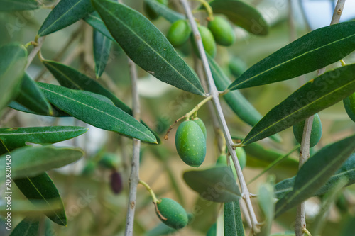 Tuinposter Olijfboom Olive tree in nature, closeup