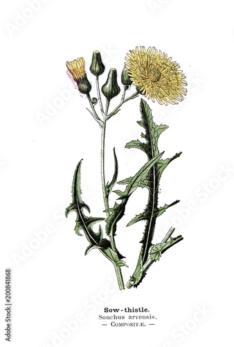 Fotografie, Obraz Botanical illustration.