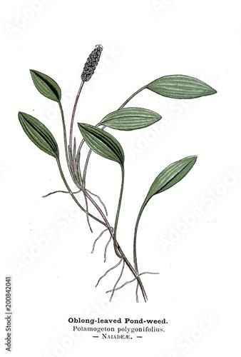 Fotografering  Botanical illustration.