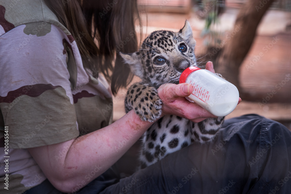 Young cheetah feeding from young woman