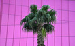 Leinwanddruck Bild - Palm tree in front of pink building facade