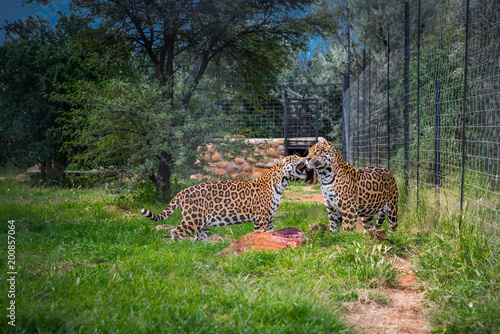 Wild cheetah couple in ZOO Canvas Print